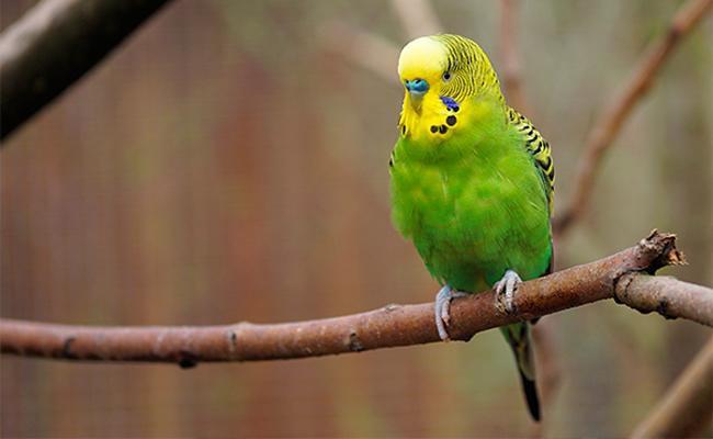 budgies-bird-pets