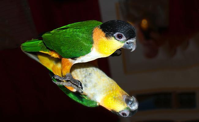 caiques-bird-pets