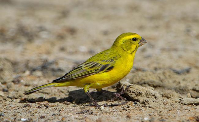 canaries-bird-pets