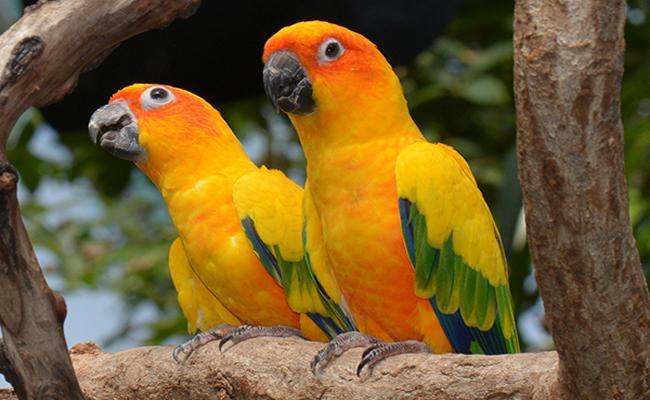 conures-bird-pets