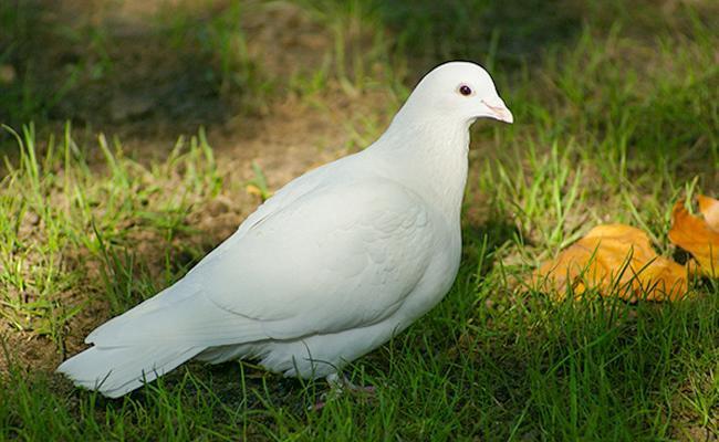 doves-bird-pets