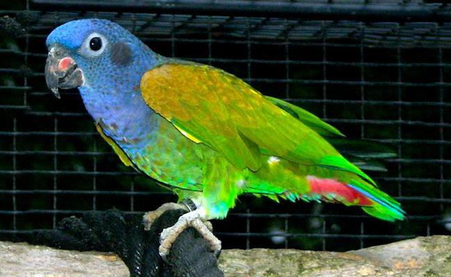 pionus-parrot-bird-pets
