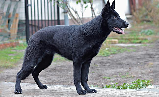 coat-color-and-appearance-black-german-shepherd