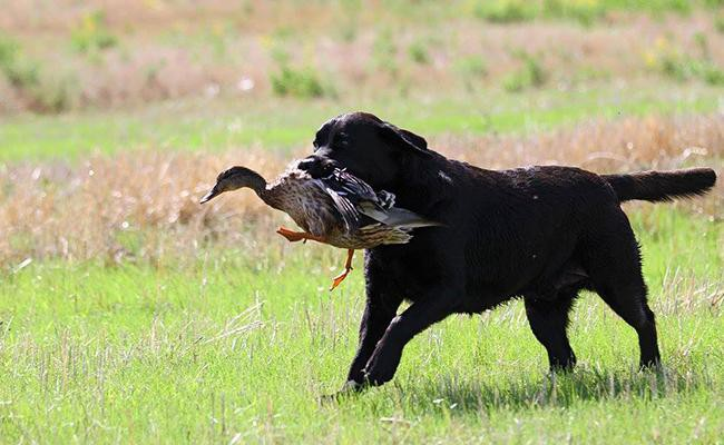 interesting-facts-about-black-lab