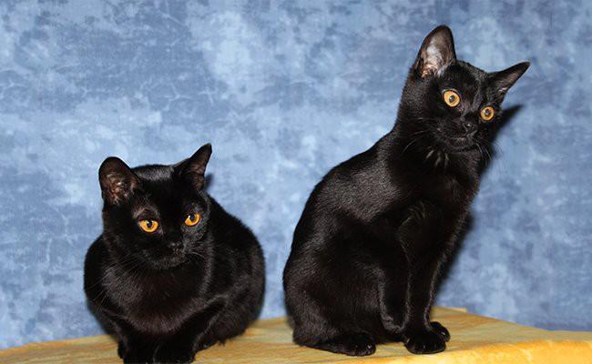 bombay-cat-history
