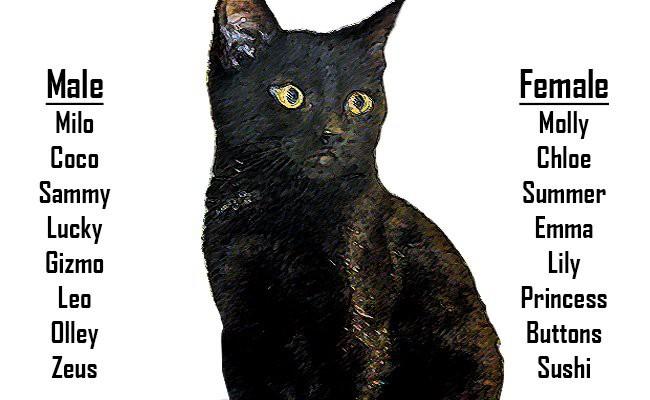bombay-kitten-names-bombay-cats