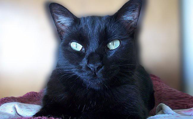 personality-bombay-cats