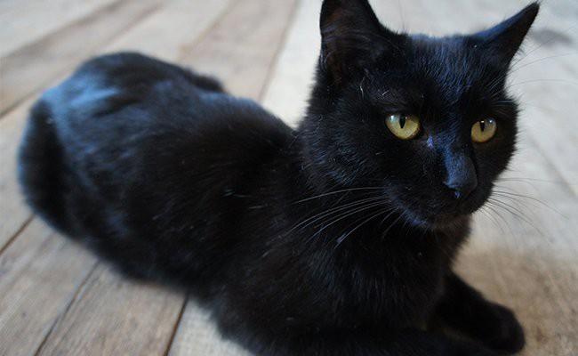 shedding-bombay-cats