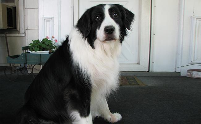 border-collie-lab-mix-breed-characteristics-sheet