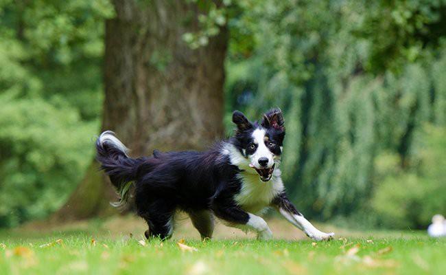 border-collie-puppy-temperament