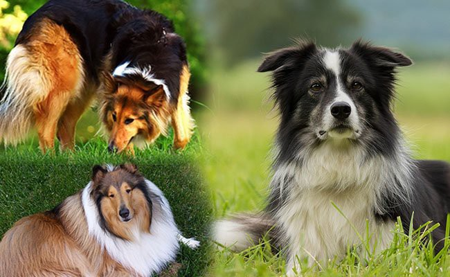 border-collie-puppy-types