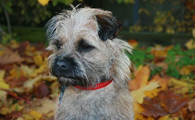 border-terrier-appearence