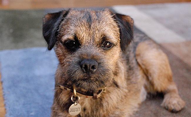 border-terrier-breed-characteristics-sheet