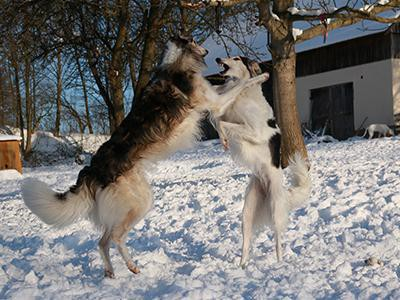 Borzoi Personality Transformation - A Complete Outlook ...