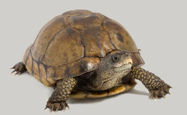 coahuilan-box-turtle