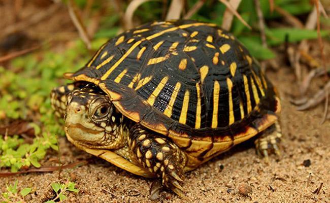 ornate-box-turtle