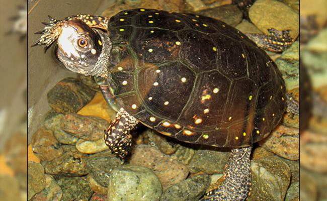 spotted-box-turtle