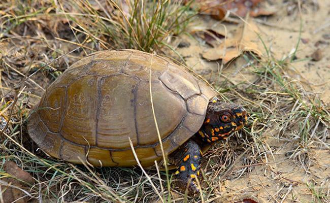 three-toed-box-turtles