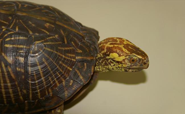 western-box-turtle-terrapene-ornate