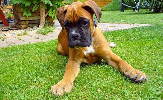 boxer-puppies-size-weight