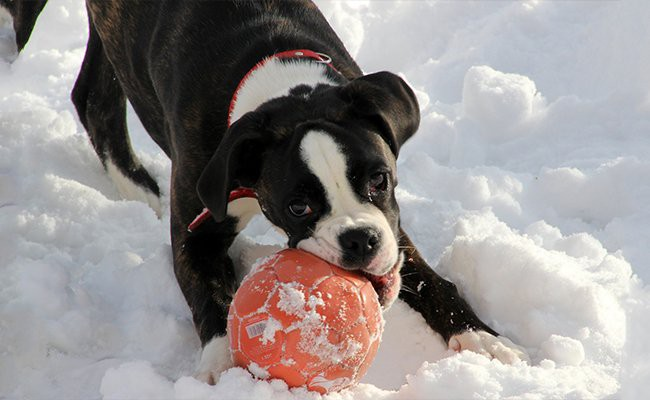 interesting-facts-about-boxer-puppies