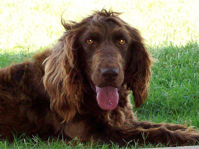 boykin-spaniel-exercise-induced-collapse-eic