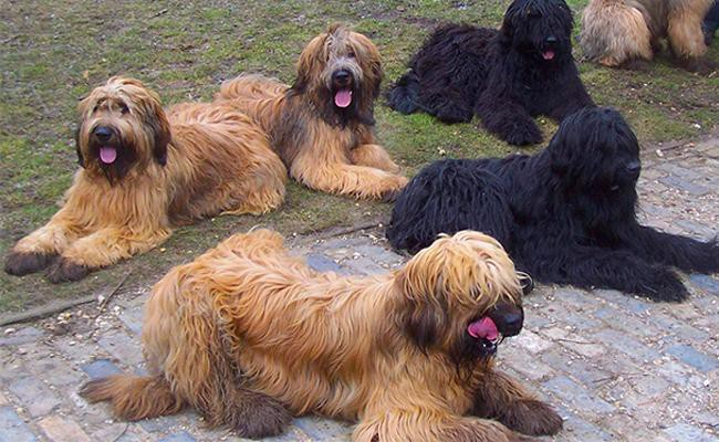 briard-coat-color-and-appearance