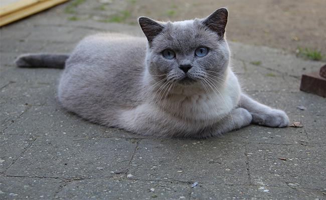 british-shorthair-cat-breed-characteristics-sheet