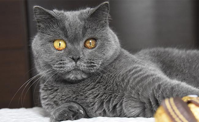 british-shorthair-cat-care