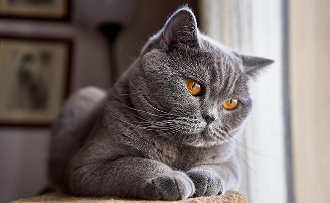 british-shorthair-cat-temperament