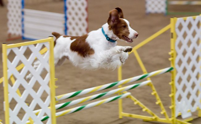 brittany-interesting-facts - Brittany Spaniel