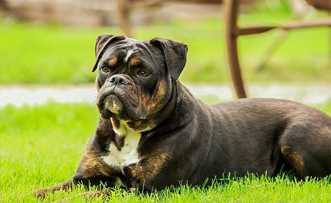 history-bulldog