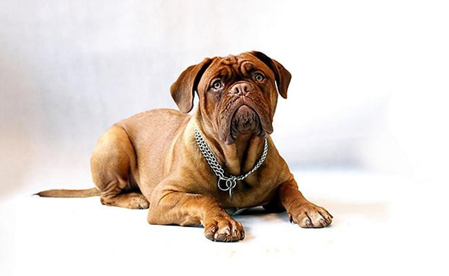 bullmastiff-size-and-weight