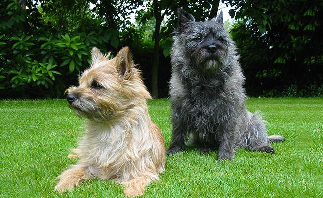 cairn-terrier-appearance-and-coat-color