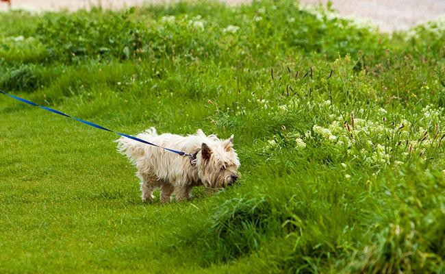 cairn-terrier-training