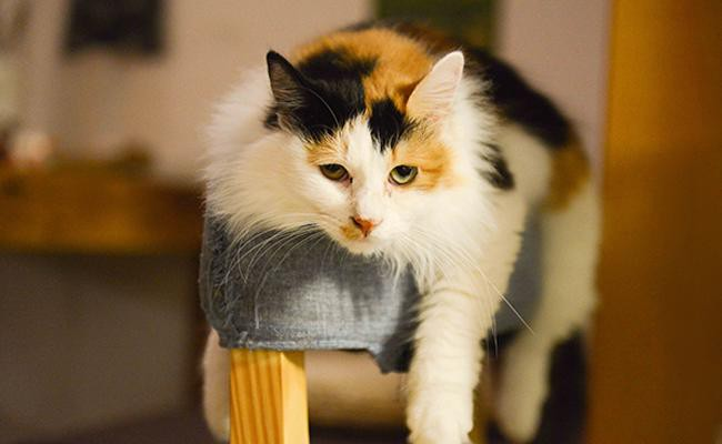 calico-cat-can-be-many-breeds