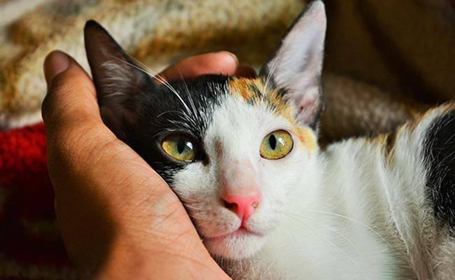 calico-cat-care