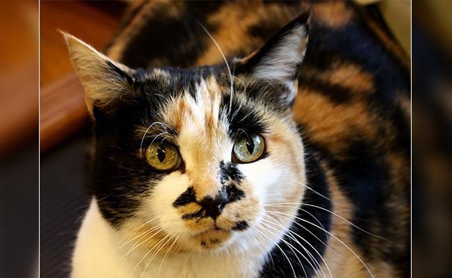 calico-cat-facts