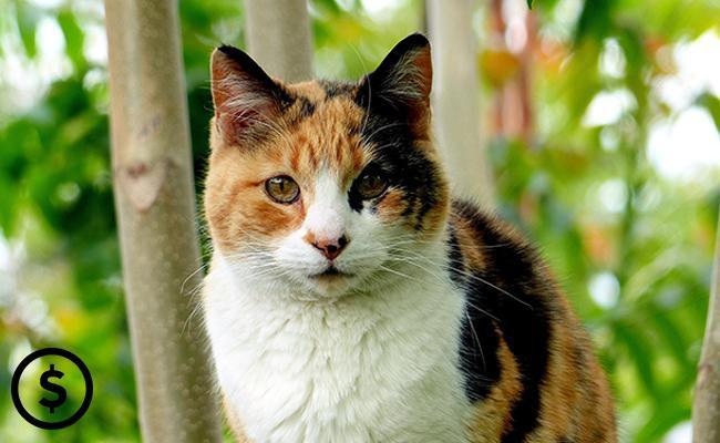 calico-cat-price