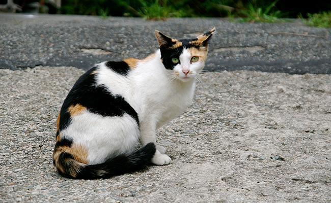 calico-cats-history
