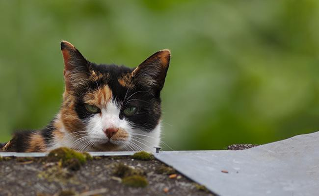 calico-cats-interesting-facts