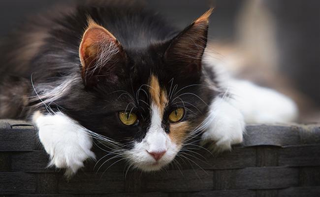 calico-cats-symbolism