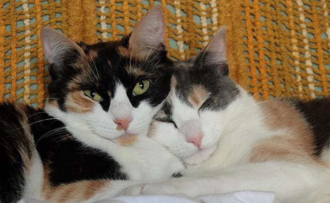 types-of-calico-cats