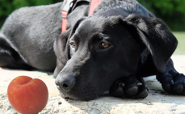 why-dogs-should-not-eat-plums