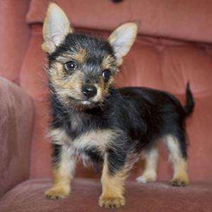 chorkie-smart-pup