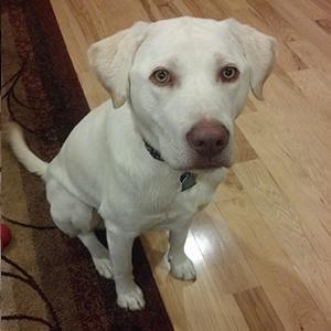 english-lab-smart-pup