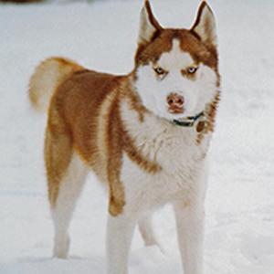 husky-smart-pup
