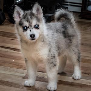 pomsky-smart-pup