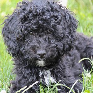 poodle-smart-pup