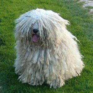 puli-smart-pup